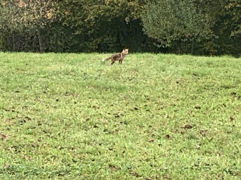 Rotfuchs auf der Wiese