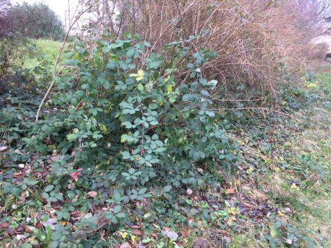 Brombeeren/ Rubus sect. Rubus in Hecke eingewachsen